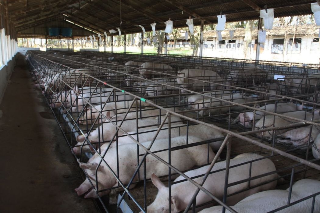 caged_mother_pigs